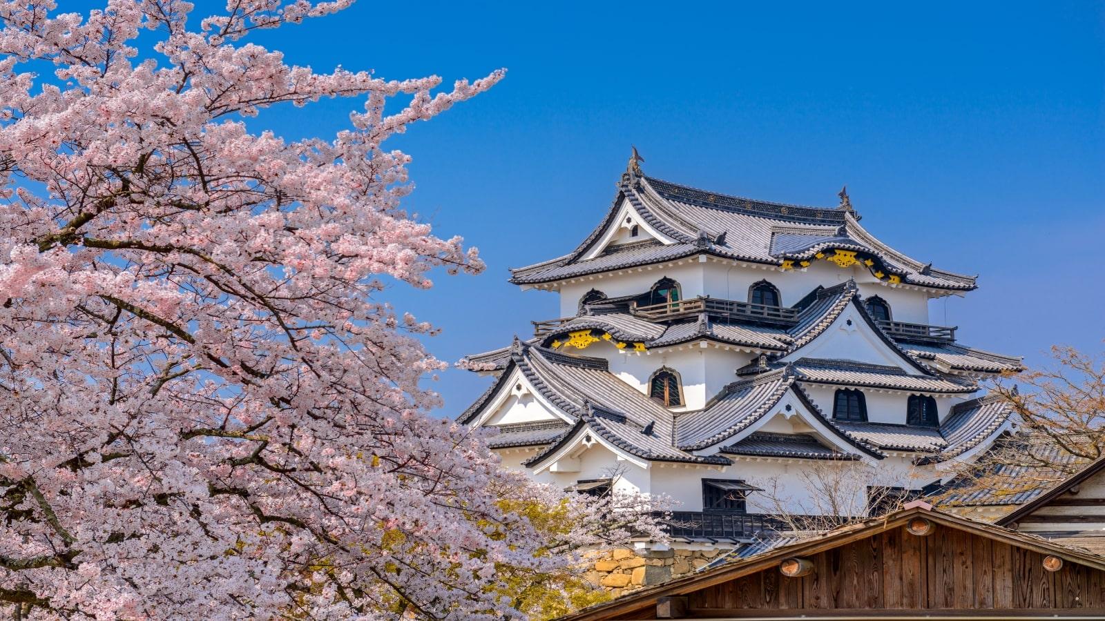 Hikone Castle during spring season